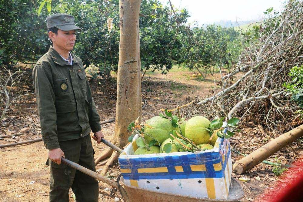 Ngoài ra, vườn anh Quang còn trồng bưởi thường phục vụ Tết