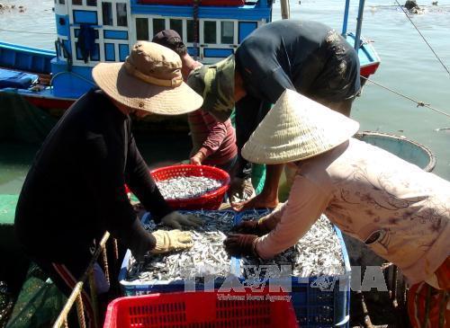 Ngư dân thu gom cá cơm để đưa đi tiêu thụ.