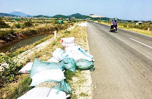Ốc hương chết ở xã Ninh Thọ vứt bừa bãi ven đường