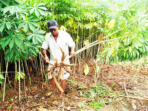 Thu hoạch mì nếp tại Ninh Ích