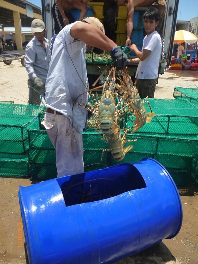 Họ bắt tôm từ thùng xanh sang cái lồng chữ nhật đan lưới kín đưa vào trong thùng nước biển lớn có oxy cho tôm ở trong xe.