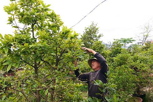Ông Đỗ Miền lặt lá mai tại vườn của ông Phạm Bá Dũng.