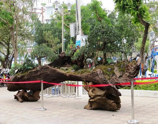 Cây cảnh bonsai kết hợp với gỗ lũa.