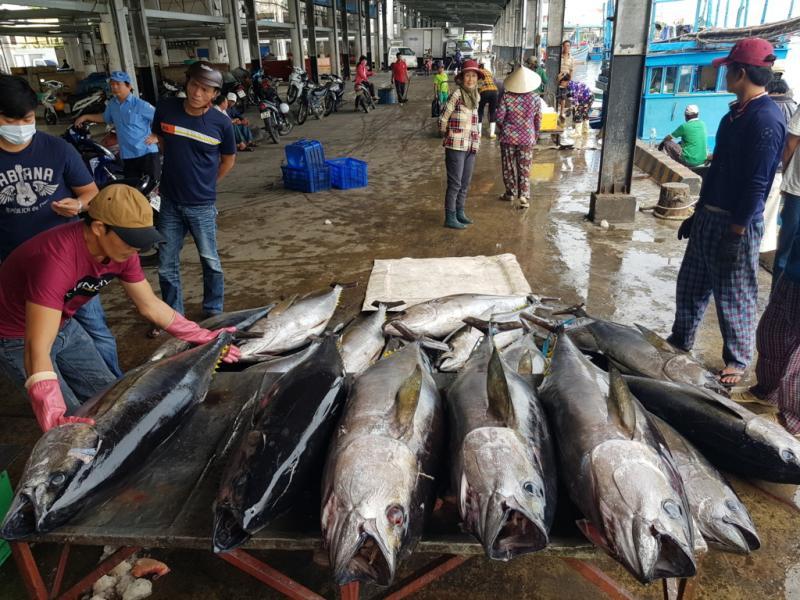 Mỗi tàu cá về đợt này đánh bắt được hàng chục con cá ngừ đại dương