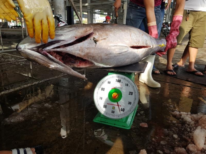 Cá ngừ đại dương chuyến này cũng tương đối lớn, đạt trung bình từ 40-50kg, thậm chí có con đạt từ 70-90kg