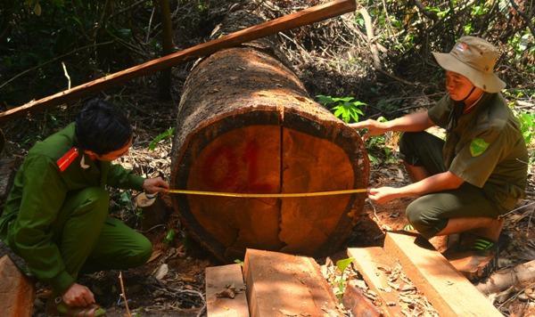 Nhiều cây gỗ tự nhiên bị đốn hạ không thương tiếc. Ảnh: Ngọc Phó