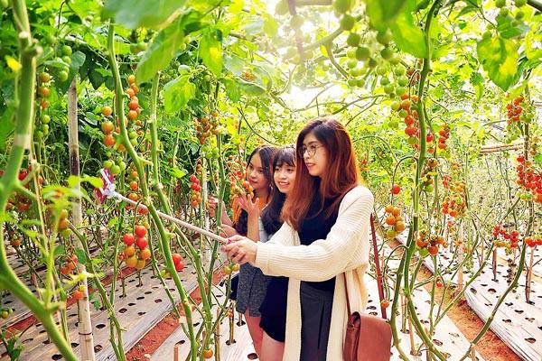 Một nhóm bạn trẻ thích thú chụp hình bên vườn cà chua công nghệ cao tại Đà Lạt. Ảnh: TTXVN.