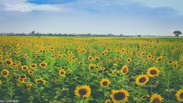 Cánh đồng hoa hướng dương bạt ngàn đang gây sốt nằm ở Song Lãng, Vũ Thư, Thái Bình