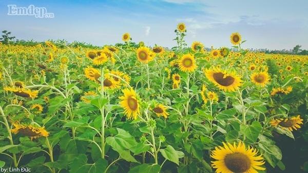 Diện tích cánh đồng hoa hướng dương ở đây khoảng hơn 2ha, trải dài ngút tầm mắt ở