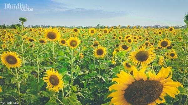 Hoa được trồng thành hàng lối nên có thể len lỏi để chụp ảnh