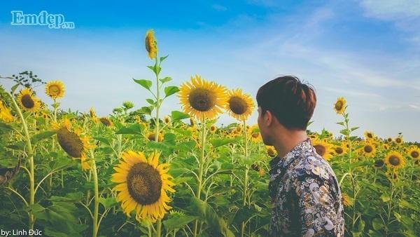 Những cây hoa cao ngang đầu người, khoe sắc rạng rỡ dưới mặt trời