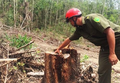 Rừng phòng hộ Đăk Lắk bị tỉa thưa hết cây gỗ lớn - Ảnh: Dân Việt.
