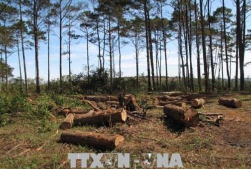 Rừng thông tại Tuy Đức, Đăk Nông bị tàn phá bởi đơn xin