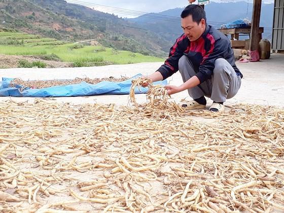 Sâm dây, một trong các loại cây dược liệu được kỳ vọng sẽ giúp người dân Măng Ri đổi đời