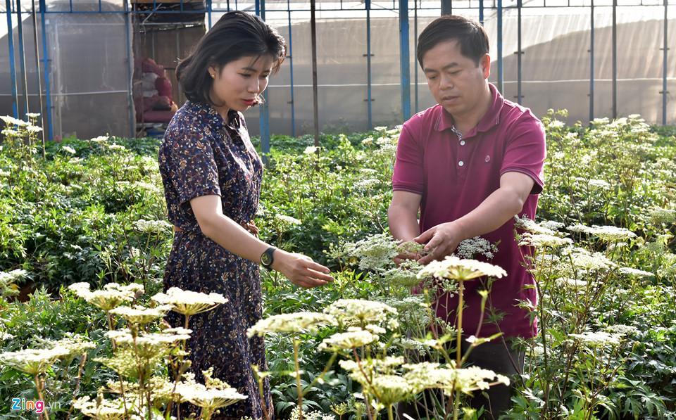 Cây dược liệu đương quy phát triển tốt ở Măng Đen. Theo các chuyên gia nông nghiệp, từ khi gieo hạt nảy mầm đến khoảng 2-3 năm sau có thể thu hoạch củ sâm dây và đương quy. Riêng cây sâm dây có thể tỉa bớt cành, lá bán cho các gia đình, nhà hàng chế biến món ăn giàu dinh dưỡng.