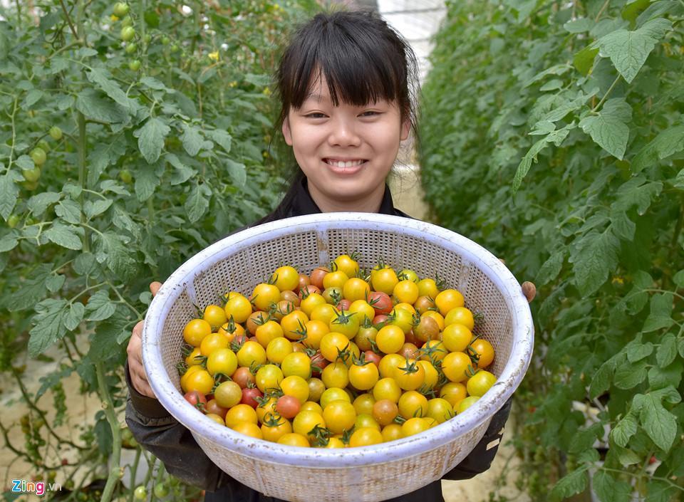 Công nhân thu hoạch cà chua sạch trong nhà kính ở Măng Đen.