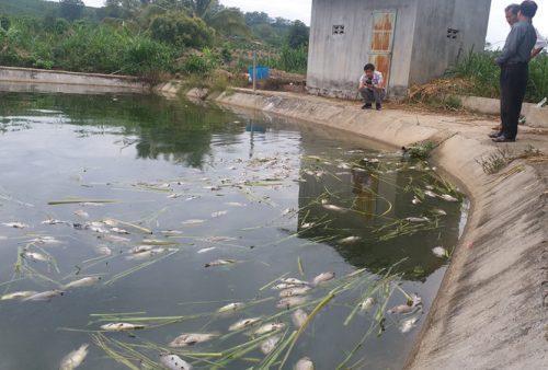 Số lượng cá chết lên tới 13 tấn, chủ yếu là cá rô phi