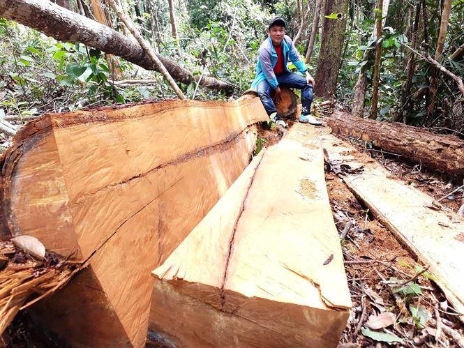 Nhiều lóng gỗ lâm tặc chưa kịp kéo ra ngoài còn tại hiện trường