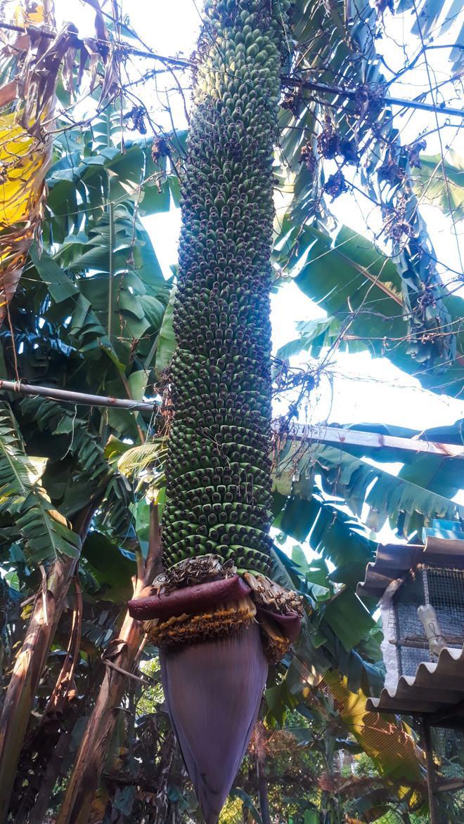 Buồng chuối có hơn 120 nải, dài 2,5 m trong vườn nhà anh Tuấn. Ảnh: Minh Hoàng.
