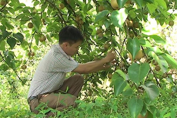 Phát triển cây ăn quả đã đem lại hướng thoát nghèo cho dân các xã vùng cao Tam Đường.