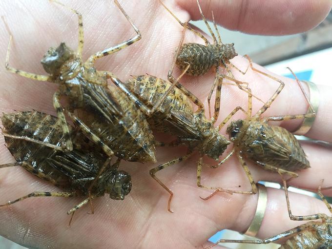 Bọ nước (ấu trùng chuồn chuồn) là món ăn không phải lúc nào cũng có sẵn. Bọ nước bắt ở sông suối quanh khu vực Điện Biên vào thời điểm tháng 3, tháng 4.
