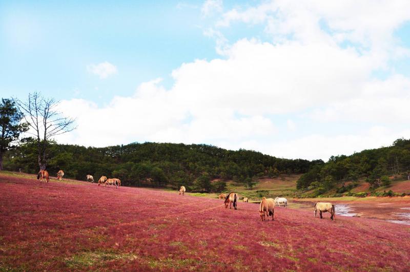 Khung cảnh nên thơ với bãi cỏ hồng và đàn ngựa trở thành điểm đến thú vị của nhiều người khi đặt chân đến Đà Lạt. (Ảnh: Amin Minh)
