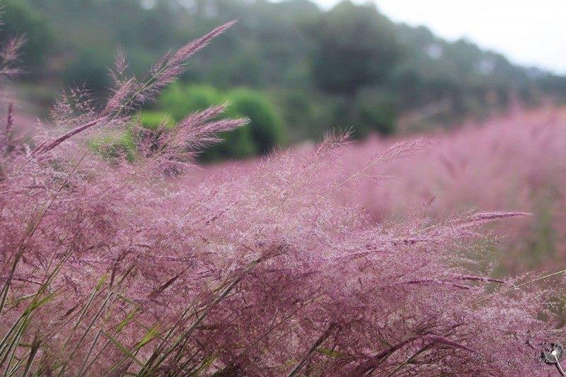 Nếu nhìn từ xa, bạn sẽ thấy khá giống với bông lau nhưng có màu hồng phớt tím.