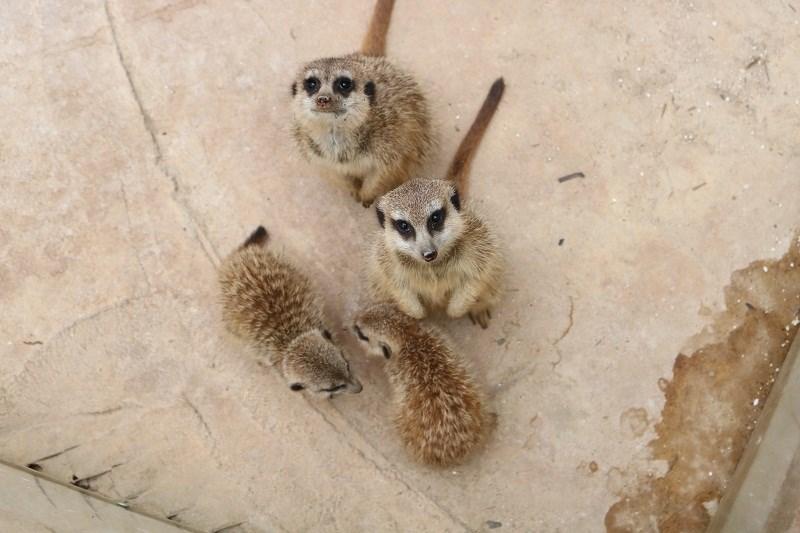 Mấy chú cầy Meerkat là loài vật hiếm hoi ở đây...