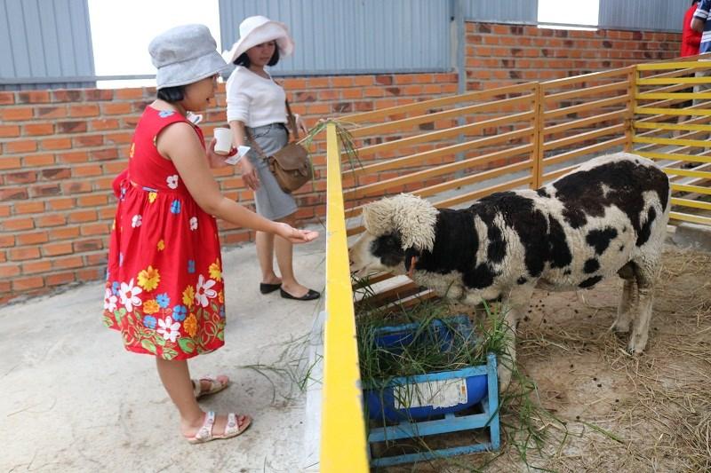 Một chú cừu đang cố ngoạm lấy thức ăn...