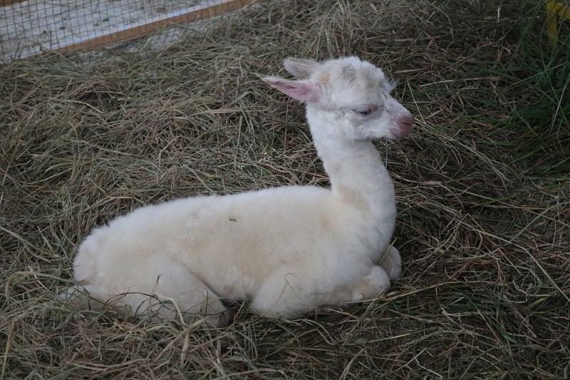 Sở thú Zoo Doo vừa đón thêm một thành viên mới trong đại gia đình lạc đà. Con lạc đà này chỉ được vài ngày tuổi.