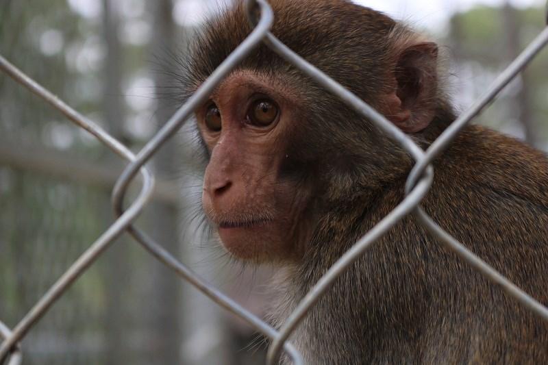 Loài khỉ (Việt Nam) vẫn thường xuyên được cắt móng tay để tránh làm đau các em nhỏ.