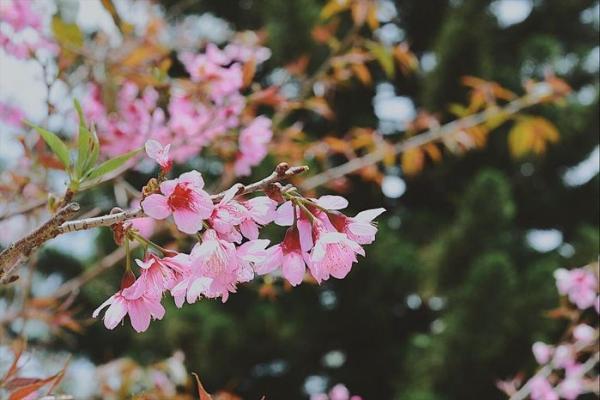 Không những mang sắc hồng lung linh, mai anh đào còn có một mùi thơm đặc trưng giữa lòng phố núi. (Ảnh: @iris24.2)