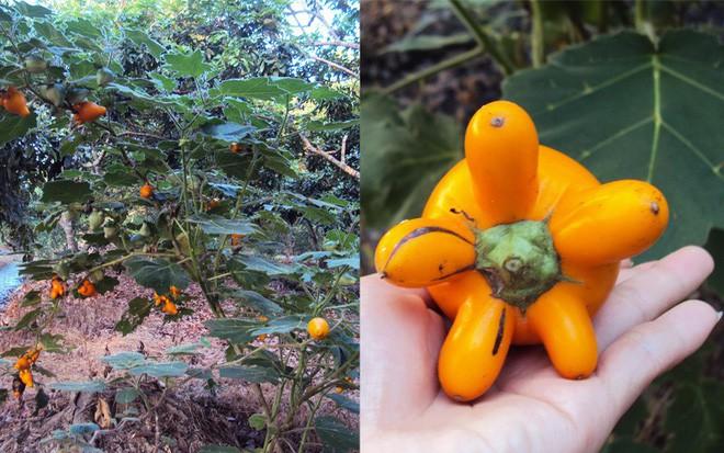 Không chỉ thịnh hành ở miền Tây, năm nay, trái dư (trái dư thừa) đã xuất hiện tràn lan ngoài thị trường miền Bắc, nhất là Hà Nội.