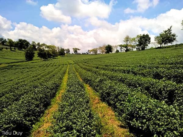 Được mệnh danh là thành phố chè, Bảo Lộc là nơi có diện tích trồng chè lớn nhất tại Lâm Đồng, cũng là nơi có diện tích trồng chè lớn nhất tại các tỉnh Tây Nguyên và Nam Bộ. Chè được trồng ở đây chủ yếu là chè Ô long, thân thấp.Ảnh: Tiểu Duy.