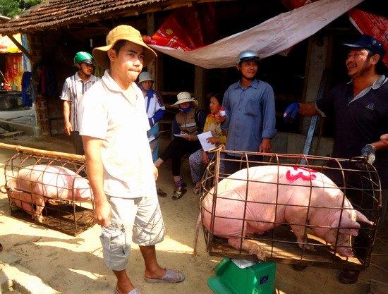 Nhiều người chăn nuôi nhỏ lẻ không muốn tái đàn vì giá heo hơi đang thấp.