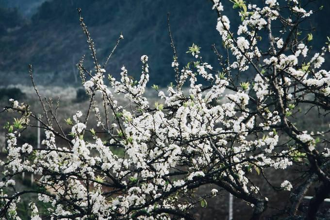 Hoa mận nở trắng mỗi khi xuân về. Ảnh: Internet.