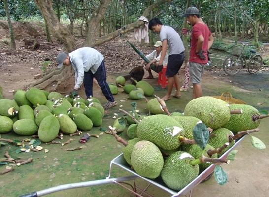 Nông dân Tiền Giang đổ xô trồng mít Thái vì giá tăng cao.