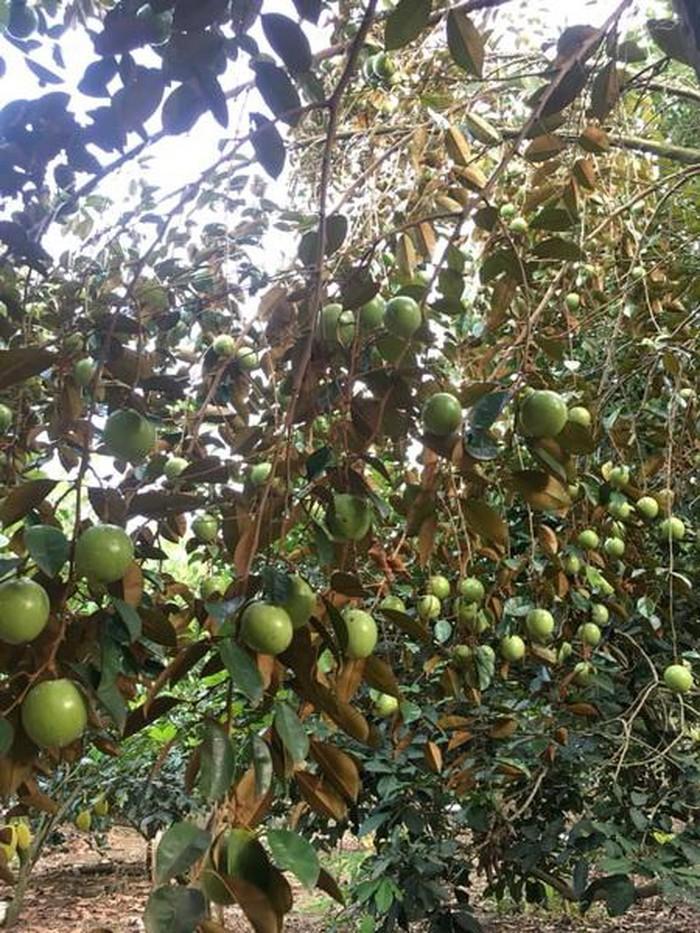 Vườn trái cây trĩu quả tại huyện Phong Điền.