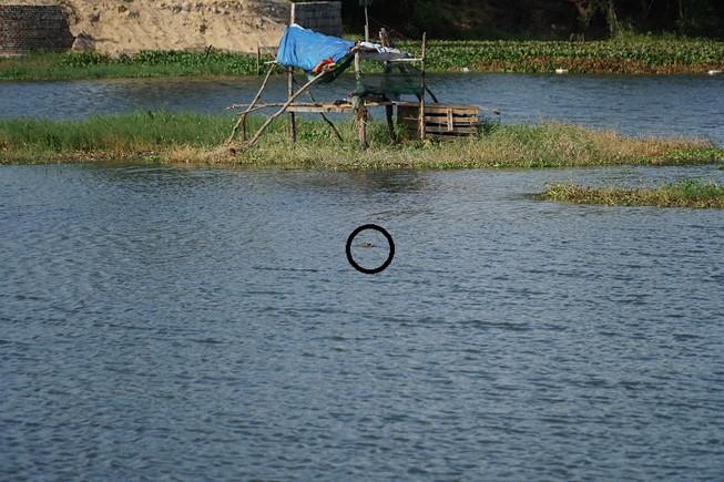 Cá sấu nổi lên trên mặt hồ ở Vũng Tàu chiều 27/1. Ảnh: TK