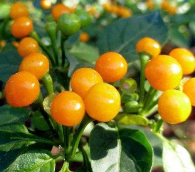 Quả ớt Aji Charapita có màu vàng, hình tròn và ít hạt hơn ớt bình thường.