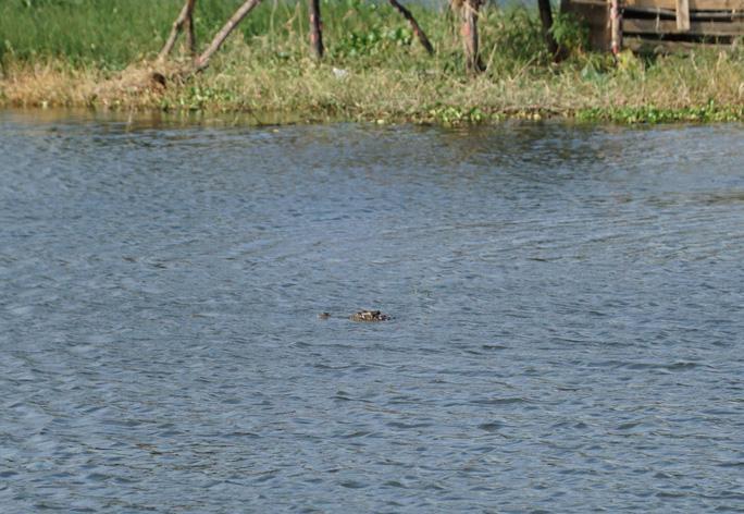 Đầu cá sấu ngoi lên khỏi mặt nước