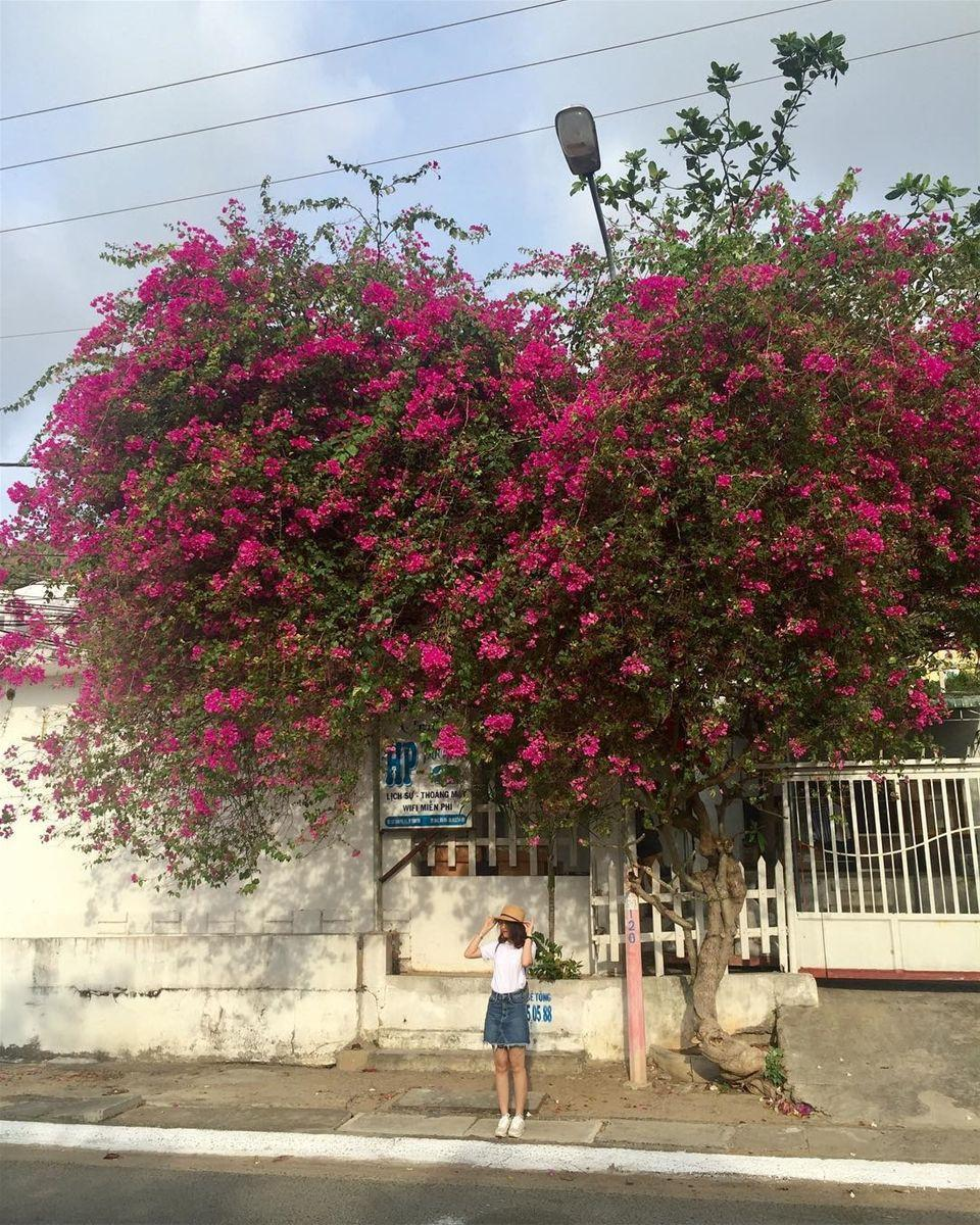 Hoa giấy được trồng nhiều ở Vũng Tàu bởi vì loại hoa này phù hợp với khí hậu nơi đây, hơn hết hoa giấy rất dễ chăm nên người dân nơi đây thường chọn trồng thành dàn để làm điểm nhấn cho cổng nhà mình.