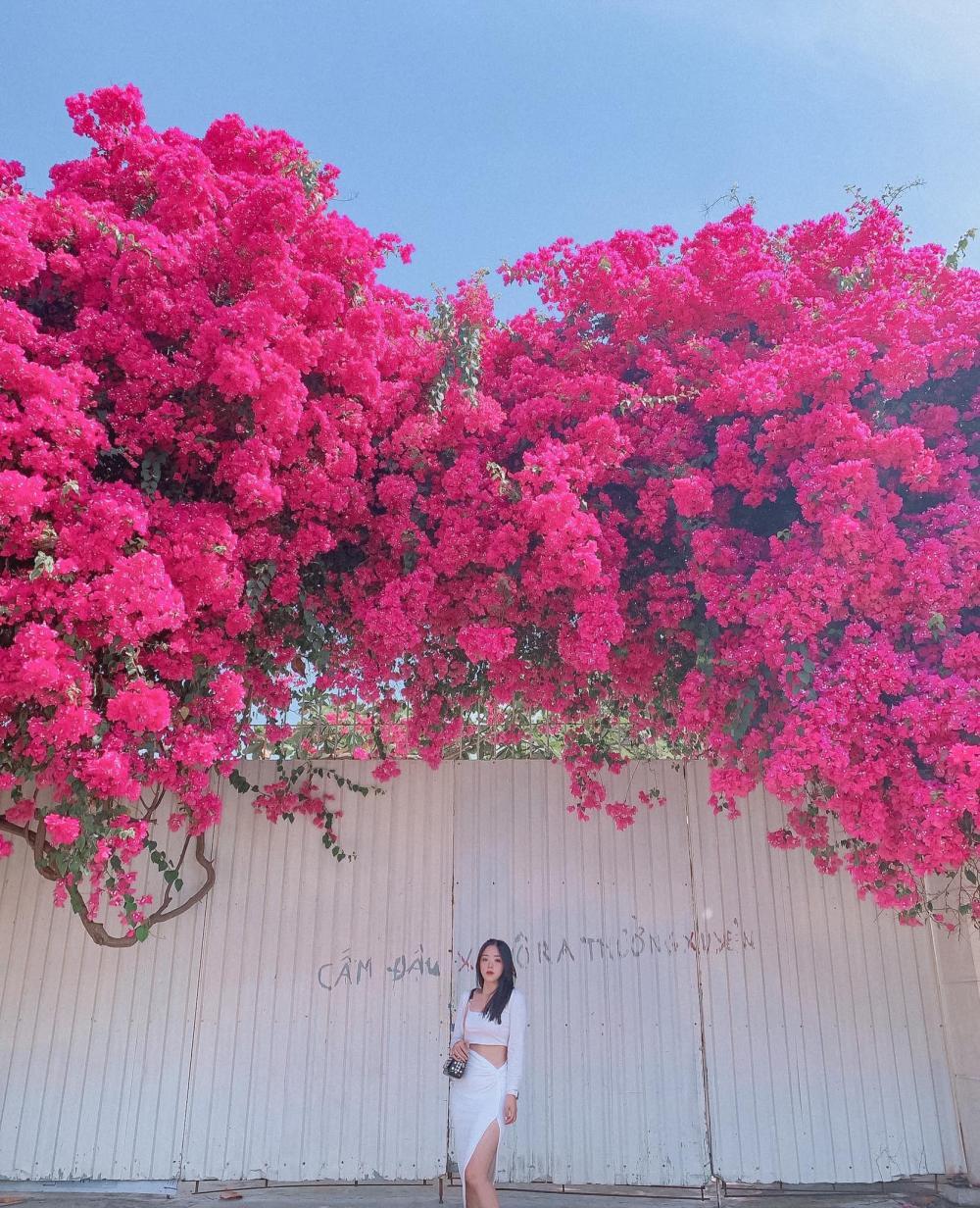 Mới đây trên MXH, một thành viên có nickname Thùy Vân chia sẻ những hình ảnh về giàn hoa giấy Vũng Tàu siêu đẹp.
