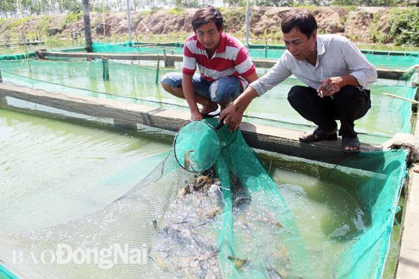 Nuôi tôm càng xanh tại H.Tân Phú