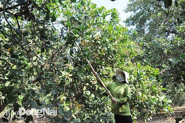 Nông dân được được cấp giấy đi đường để thu hoạch nông sản. (Trong ảnh: Người dân H.Thống Nhất đang hái điều)