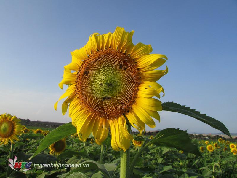 Năm nay, theo đánh giá của nhiều du khách, hoa hướng dương cao hơn, bông to hơn năm trước nên rất thuận tiện trong ngắm hoa và có những tấm hình đẹp.