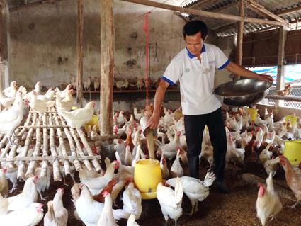Ông Bùi Văn Thao chăm sóc cho đàn gà