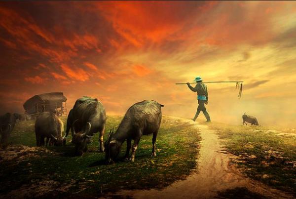 Những đàn trâu thong dong gặm cỏ trên đồng làng.
