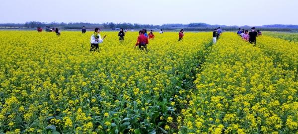 Thời gian gần đây, cánh đồng hoa cải rộng gần 100 ha của người dân xã Hồng Lý, huyện Vũ Thư (Thái Bình) nằm bên bờ sông Hồng bắt đầu trổ hoa vàng rực.