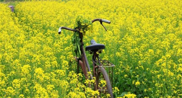 Chiếc xe đạp cũ được người dân đưa ra đồng cải để làm đạo cụ, phục vụ du khách chụp hình với giá 10.000 đồng mỗi lượt.
